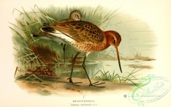 birds_of_russia-00073 - limosa melanula