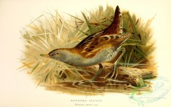 birds_of_russia-00074 - Little Crake, porzana parva, 2