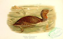 birds_of_russia-00082 - podiceps septentrionalis