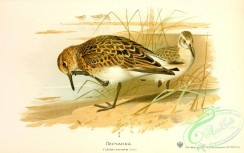 birds_of_russia-00087 - Sanderling, calidris arenaria