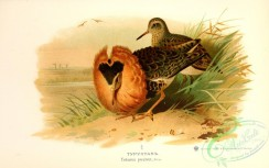 birds_of_russia-00096 - totanus pugnax, 2