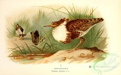 birds_of_russia-00097 - totanus pugnax
