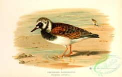 birds_of_russia-00100 - Turnstone, strepsilas interpres