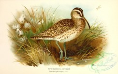 birds_of_russia-00102 - Whimbrel, numenius phaeopus