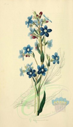 blue_flowers-00028 - 10-Panicled Bugloss - anchusa paniculata [2001x3450]