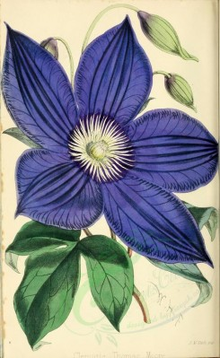 blue_flowers-00053 - Clematis Thomas Moore [2182x3554]