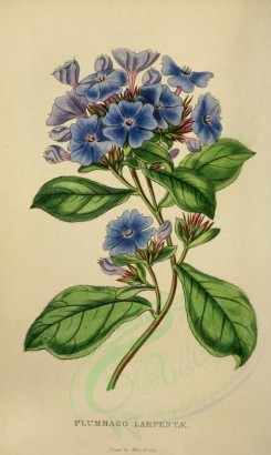 blue_flowers-00068 - plumbago larpentae [2333x3898]