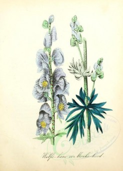 blue_flowers-00073 - Wolf's-bane or Monk's-hood [1905x2650]