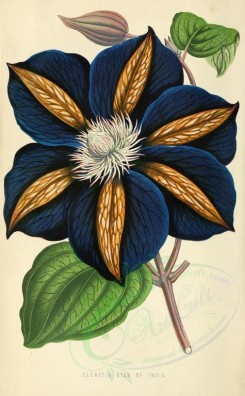 blue_flowers-00074 - Clematis Star of India [1907x3082]