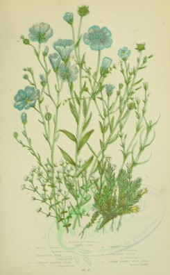 blue_flowers-00086 - 046-Slender Buffonia, Mossy Cyphel, Perennial Flax, Narrow leaved Flax, Common Flax, Cathartic Flax, Thyme leaved Flax Seed - buffonia annua, cherleria sedoides, linum perenne, lin [2208x3566]