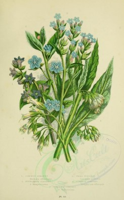 blue_flowers-00089 - 072-COMMON ALKANET, EVERGREEN ALKANET, SMALL BUGLOSS, COMMON COMFREY, TUBEROUS COMFREY [2224x3587]