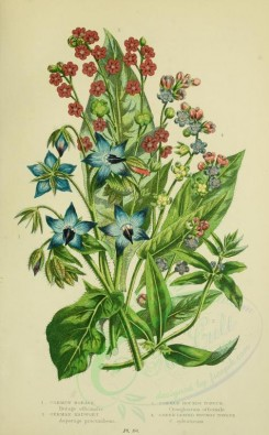 blue_flowers-00090 - 073-COMMON BORAGE, GERMAN MADWORT, COMMON HOUNDS TONGUE, GREEN LEAVED HOUNDS TONGUE [2224x3587]