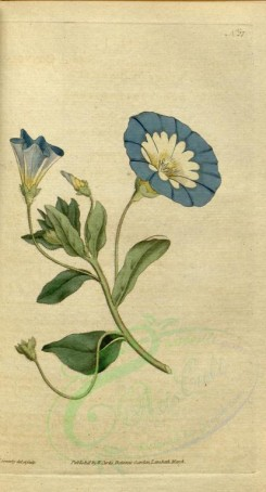 blue_flowers-00094 - 027-convolvulus tricolor, Small Convolvulus or Bindweed [1785x3307]