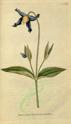 blue_flowers-00097 - 065-clematis integrifolia, Entire-leaved Clematis or Virgins-Bower [1819x3188]