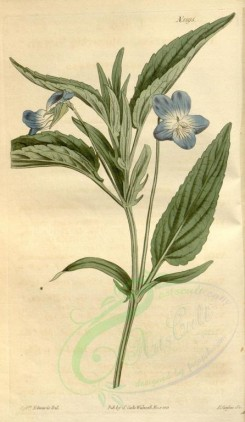 blue_flowers-00185 - 1595-viola montana, Mountain Violet [1864x3204]