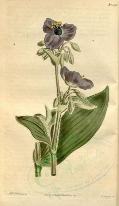 blue_flowers-00187 - 1598-tradescantia crassifolia, Tuberous-rooted Spiderwort [1861x3204]
