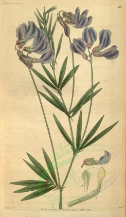 blue_flowers-00263 - 3117-orobus canescens, Canescent Bitter-Vetch [1897x3266]