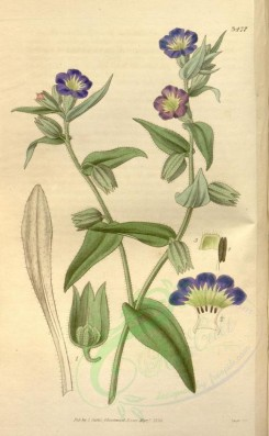 blue_flowers-00266 - 3477-anchusa versicolor, Changeable-flowered Alkanet [2093x3390]