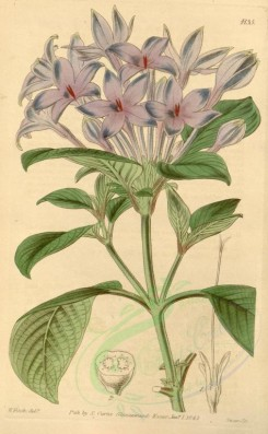 blue_flowers-00279 - 4135-hindsia violacea, Large-flowered Hindsia [2037x3298]