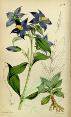 blue_flowers-00299 - 4771-exacum macranthum, Large-flowered Exacum [2163x3586]