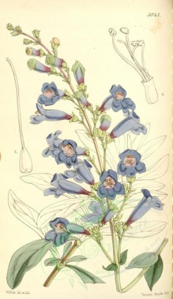 blue_flowers-00310 - 5045-pentstemon jaffrayanus, Mr Jaffray's Pentstemon [2020x3494]