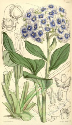 blue_flowers-00315 - 5137-myosotidium nobile, Antarctic Forget-me-not [1981x3422]
