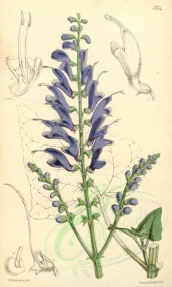 blue_flowers-00316 - 5274-salvia cacaliaefolia, Cacalia-leaved Sage [2067x3437]