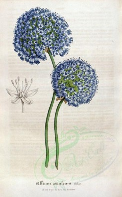 blue_flowers-00351 - allium coeruleum [2243x3620]