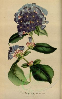 blue_flowers-00358 - plumbago larpentae [2289x3636]