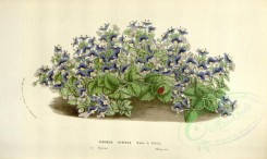 blue_flowers-00432 - veronica syriaca [3485x2079]