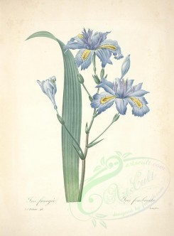 blue_flowers-00474 - iris fimbriata [5170x6994]
