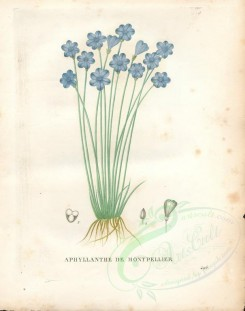 blue_flowers-00490 - Aphyllanthes monspeliensis [4840x6139]
