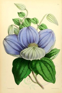blue_flowers-00562 - Clematis, 2 [1925x2910]