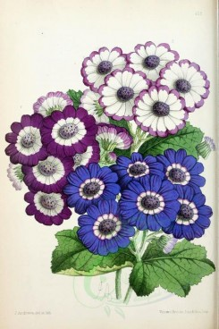 blue_flowers-00564 - Cinerarias [1895x2846]