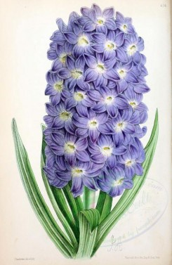 blue_flowers-00565 - Hyacinth [1849x2841]