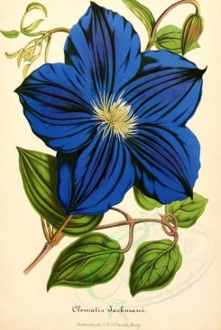blue_flowers-00571 - clematis jackmani [1885x2805]