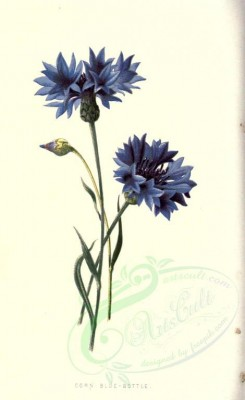 blue_flowers-00576 - CORN BLUE-BOTTLE [1630x2658]