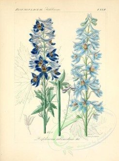 blue_flowers-00613 - delphinium intermedium [2276x3076]