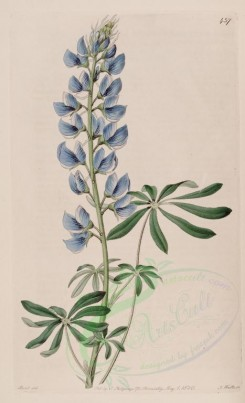 blue_flowers-00635 - 457-lupinus mexicanus, Mexican Lupine [2599x4266]