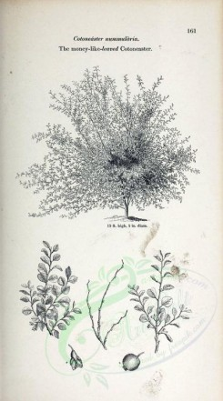 botanical-06598 - black-and-white Money-like-leaved Cotoneaster, cotoneaster nummularia