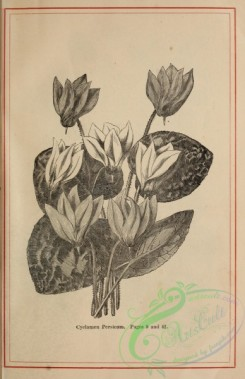botanical-20722 - black-and-white 254-Cyclamen Persicum