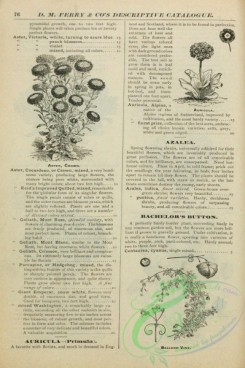 botanical-21950 - black-and-white 077-Auricula, Aster