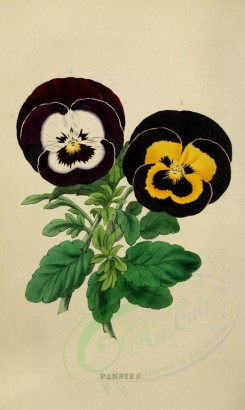 bouquets_flowers-00009 - PANSIES [2333x3898]