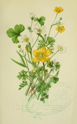 bouquets_flowers-00029 - 003-Water Crowfoot, Ivy-leaved Crowfoot, Alpine White Crowfoot, Great Spearwort, Lesser Spearwort - ranunculus aquatilis, ranunculus hederaceus, ranunculus alpestris, lingua, ranun [2208x3566]