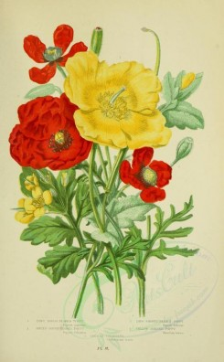 bouquets_flowers-00033 - 012-Long Rough-headed Poppy, Round Rough-headed Poppy, Long Smooth-headed Poppy, Yellow Horned Poppy, Greated Celandine - papaver argemone, papaver hybridum, papaver dubium, glauci [2208x3566]