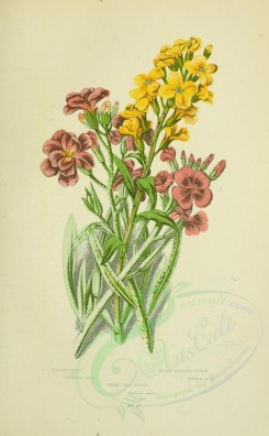 bouquets_flowers-00035 - 027-Wallflower, Hoary Shrubby Stock, Great Sea Stock - cheiranthus cheiri, matthiola meana, matthiola sinuata [2208x3566]