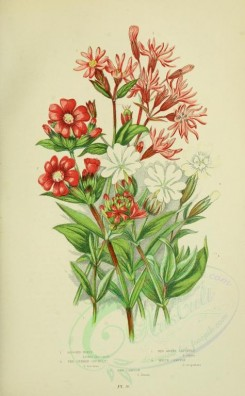 bouquets_flowers-00037 - 040-Ragged Robin, Red German Catchfly, Red Alpine Catchfly, White Campion - lychnis flos-cuculi, lychnis viscaria, lychnis alpina, lychnis vespertina, lychnis drurna [2208x3566]