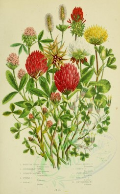 bouquets_flowers-00042 - 061-White or Dutch Clover, Subterranean Trefoil, Sulphur coloured Trefoil, Purple Trefoil, Zigzag Trefoil, Teasel-headed Trefoil, Crimson Trefoil, Starry headed Trefoil, Hare's Foo [2208x3566]