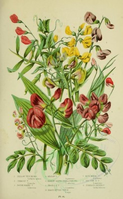 bouquets_flowers-00043 - 066-Yellow Vetchling, Crimson Vetchling, Rough Podded Vetchling, Meadow Vetchling, Narrow Leaved Everlasting Pea, Broad leaved everlasting Pea, Black Bitter Vetch, Blue Marsh Vetch [2208x3566]