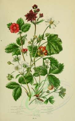 bouquets_flowers-00046 - 070-Procumbent Sibbaldia, Marsh Cinque Foil, Stone Brabmle, Arctic Raspberry, Mountain Raspberry, Wood Strawberry, Hautbowy Strawberry - sibbaldia procumbeus, comarum palustre, rub [2208x3566]